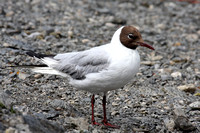 (13) BLACK-HEADED GULL (ADULT SUMMER), BOWNESS-ON-WINDERMERE 1a