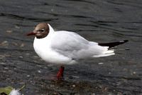 (13) BLACK-HEADED GULL (ADULT SUMMER), BOWNESS-ON-WINDERMERE 1b