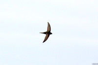 (7) COMMON SWIFT, CLEY MASRHES RESERVE