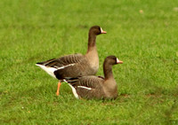 (6) WHITE-FRONTED GOOSE (RUSSIAN), BARTON IN FABIS