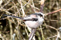 (1) LONG-TAILED TIT, WILLESLEY WOODSIDE 1c