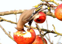 (2) WAXWING, GLENFIELD 12