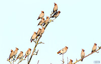 (2) WAXWING, GLENFIELD 5