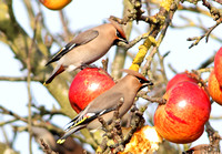 (2) WAXWING, GLENFIELD 9