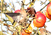 (2) WAXWING, GLENFIELD 8
