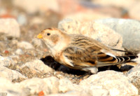 (1) SNOW BUNTING (FEMALE WINTER), HARTLEPOOL 1