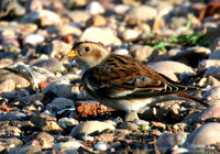 (1) SNOW BUNTING (FIRST WINTER FEMALE), CHASEWATER