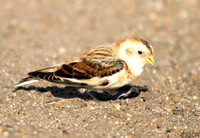 (1) SNOW BUNTING (FIRST WINTER MALE WINTER), HARTLEPOOL 1c