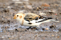 (1) SNOW BUNTING (MALE WINTER), HARTLEPOOL