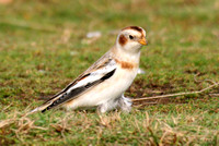 (1) SNOW BUNTING (MALE WINTER), SALTHOUSE 1b