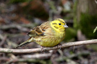(16) YELLOWHAMMER (MALE), WILLESLEY WOODSIDE 1a