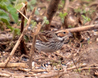 (24) LITTLE BUNTING, GREAT BARFORD