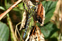 (23) SOUTHERN HAWKER (MALE), LADYWALK RESERVE