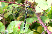 (23) SOUTHERN HAWKER (MALE), NEW LOUNT RESERVE 1a