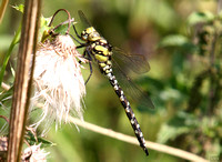 (23) SOUTHERN HAWKER (MALE, IMMATURE), WILLESLEY WOODSIDE 1