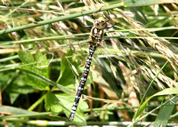 (23) SOUTHERN HAWKER (MALE, IMMATURE), WILLESLEY WOODSIDE 4