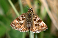 (57.001) DINGY SKIPPER, BISHOP MIDDLEHAM QUARRY