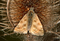 (57.001) DINGY SKIPPER, HICKS LODGE 2a