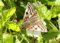 (57.001) DINGY SKIPPER, NEW LOUNT RESERVE