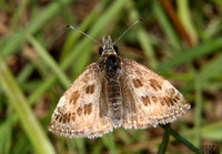 (57.001) DINGY SKIPPER, WILLESLEY WOODSIDE