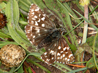 (57.002) GRIZZLED SKIPPER, MARTIN DOWN 1