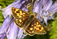 (57.004) CHEQUERED SKIPPER, GLASDRUM WOOD 1
