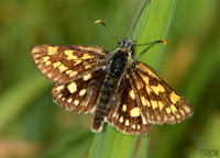 (57.004) CHEQUERED SKIPPER, GLASDRUM WOOD 2