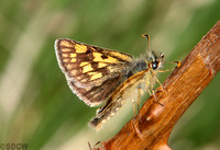 (57.004) CHEQUERED SKIPPER, GLASDRUM WOOD 3