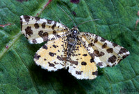 (70.229) SPECKLED YELLOW, LLANYMYNECH QUARRY