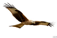 (3) RED KITE, GIGRIN FARM 1