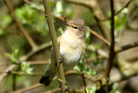 (14) CHIFFCHAFF, WILLESLEY WOODSIDE 1