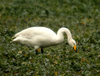 (3) WHOOPER SWAN (ADULT), SENCE VALLEY