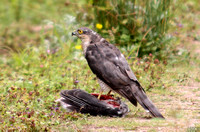 (12) SPARROWHAWK (FEMALE), CLOUD WOOD
