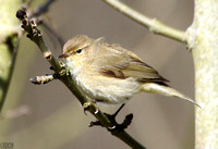 (14) CHIFFCHAFF, WILLESLEY WOODSIDE 2