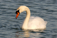 (1) MUTE SWAN (ADULT MALE), EGLETON RESERVE 1b