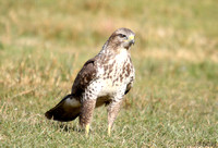 (13) BUZZARD, GIGRIN FARM 1b