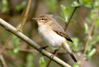 (14) CHIFFCHAFF, WILLESLEY WOODSIDE 3