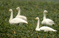 (3) WHOOPER SWAN (ADULTS & JUVENILES), SENCE VALLEY