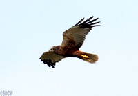 (7) MARSH HARRIER (MALE), CLEY MARSHES RESERVE 1a