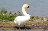 (1) MUTE SWAN (ADULT MALE), EGLETON RESERVE 2