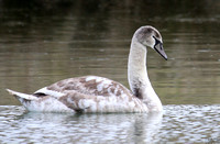 (1) MUTE SWAN (FIRST WINTER), HICKS LODGE
