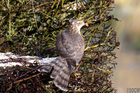(12) SPARROWHAWK (FEMALE), LADYWALK RESERVE
